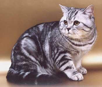 У британцев то же самое, т.к. изначально это мощные коренастые кошки...